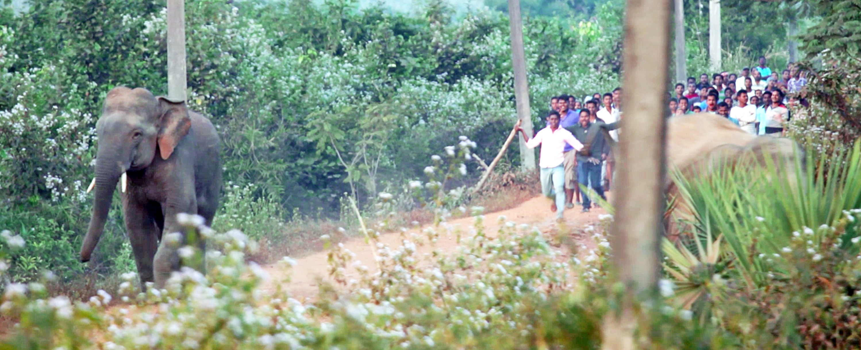 Human mob running after an elephant in Athgarh Forest Division. Photo © Karan Tejpal