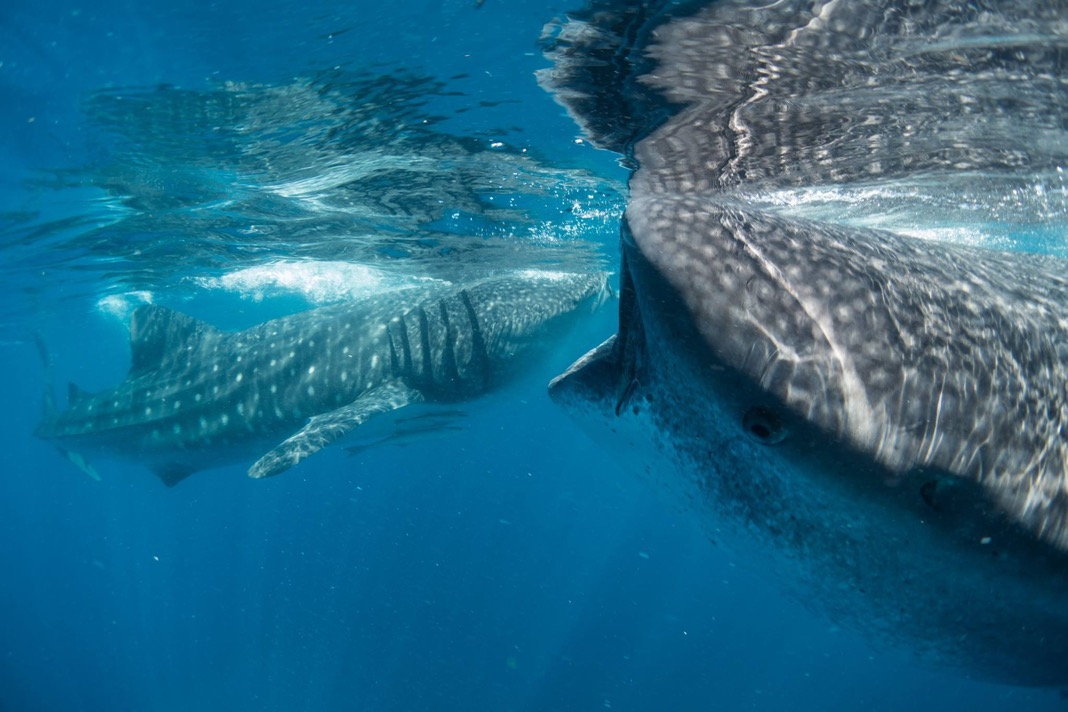 Whale sharks prefer to roam shallow seas with 50 metre depth. This makes them exceptionally vulnerable to ship collisions and fishing nets. Photo courtesy Francesca Reina
