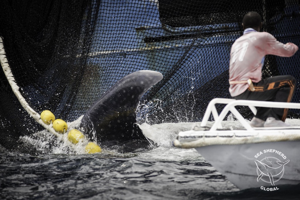 Sea Shepherd crew of the BOB BARKER rescued a Whale Shark from a tuna seine net off the coast of Gabon in July 2016. Photo Courtesy Simon Ager/ Sea Shepherd