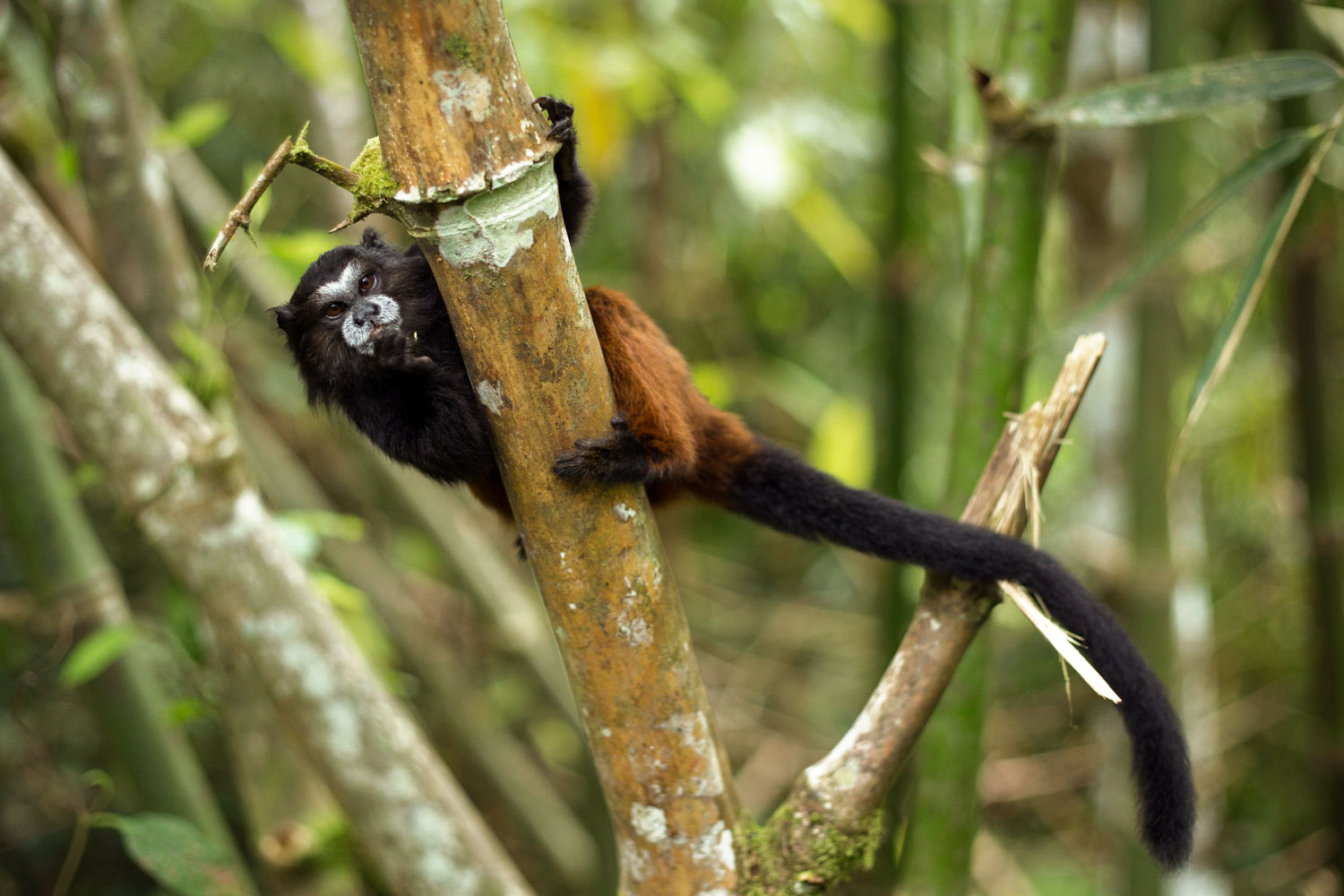 Manu National Park boasts one of the highest degrees of biodiversity in the world. Debates rage as to whether the presence of communities like Yomibato help to protect or further endanger wild animals such as this marmoset, seen swinging from a branch along the Manu River. Photo: Brett Monroe Garner