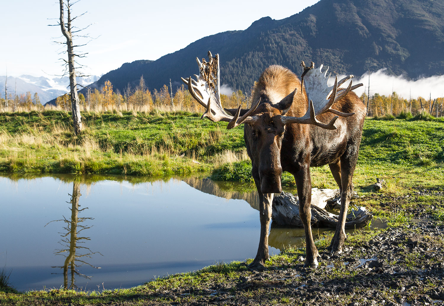 A moose at the Wildlife Conservation Centre near Anchorage. Photo: Madhuri Chowdhury / The Outdoor Journal