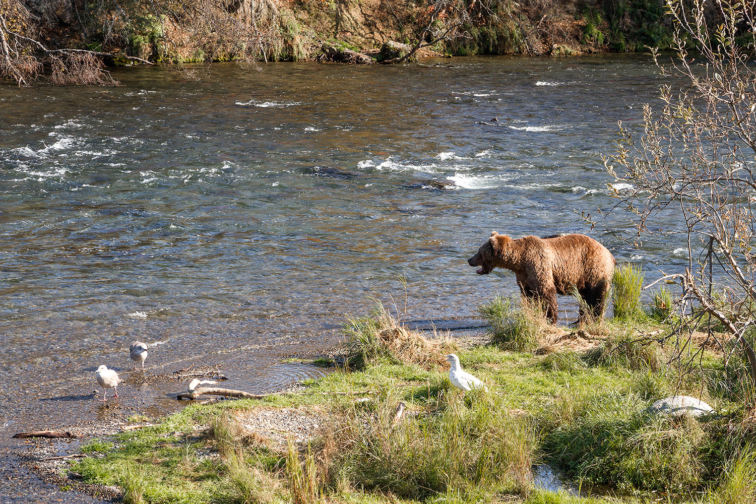 A coastal grizzly at Brooks Camp in Katmai National Park.