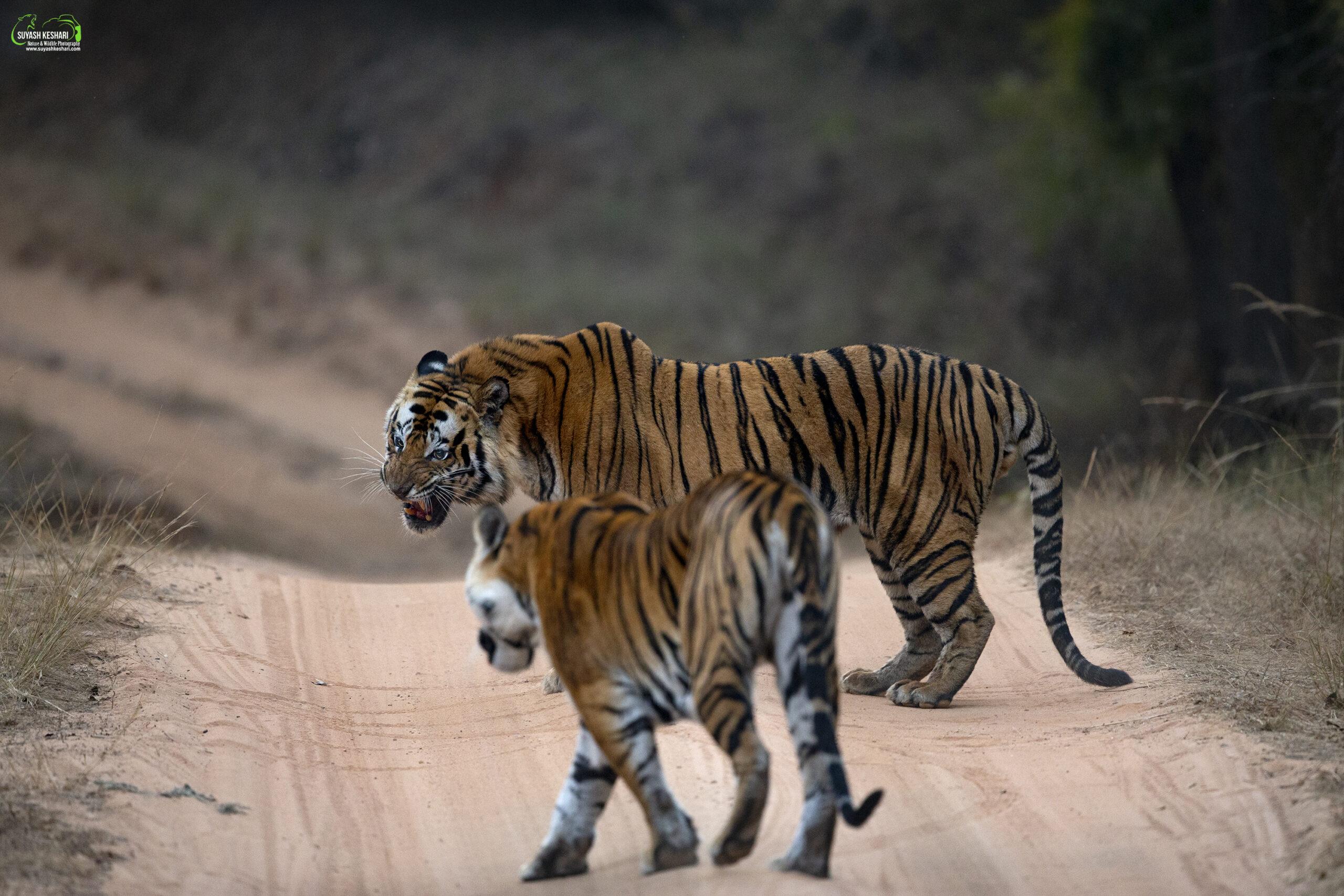 tigress solo